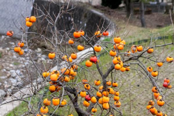 昭津地区の柿